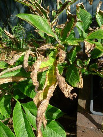 Cyclone Oswald salt spray affected Amorphophallus