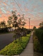 Bellis nature strip, Brisbane: producing pollen, nectar, food and medicine