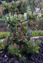 Phosphorous test using Wallum Banksia, Banksia aemula, at Bellis nature strip