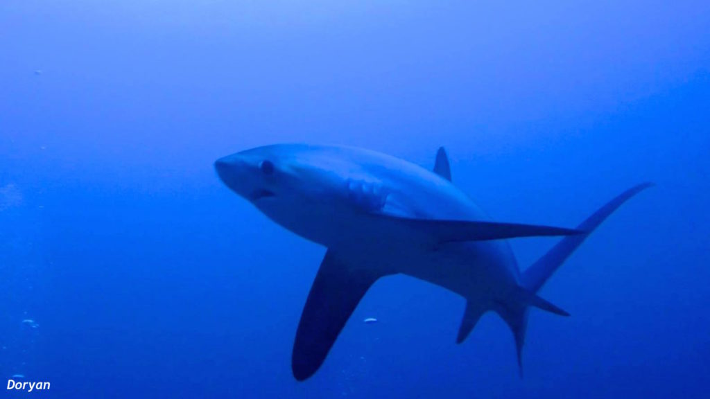 Requins renard à Malapascua