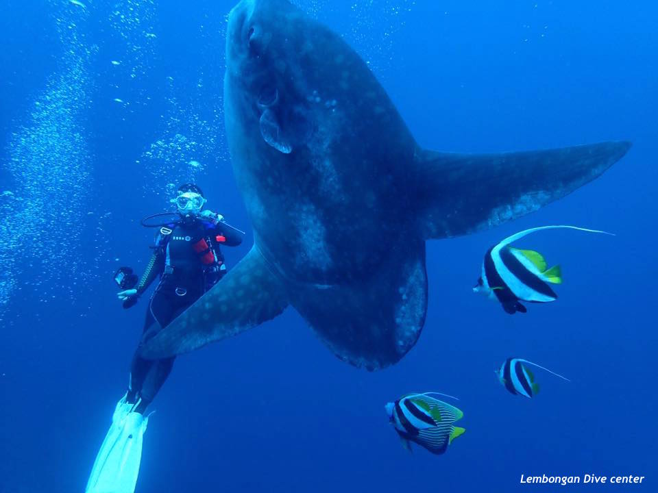 Mola Mola Nusa Penida Lembongan Dive Center