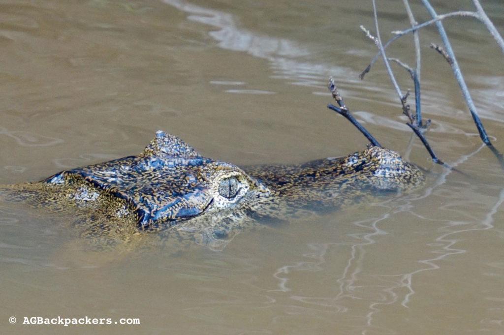 Crocodiles en mode peace mais toujours prêts á l'attaque