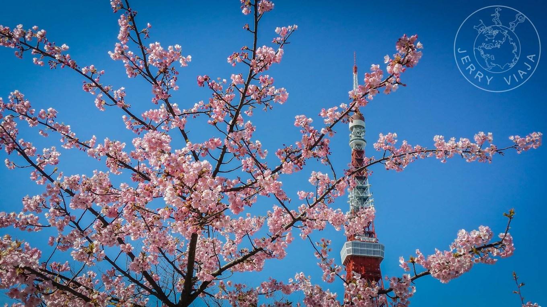 Guía: Qué ver en Tokio. Torre de Tokio con lsa flores de cerezo.