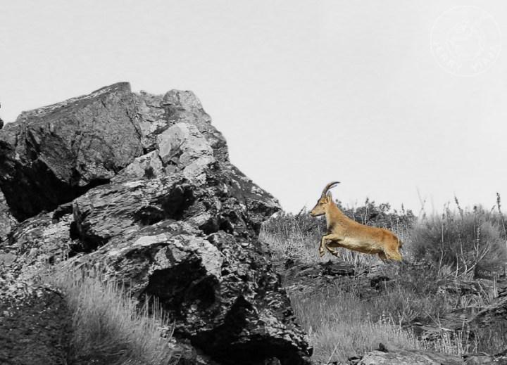 Cabra salvaje autóctona de Sierra Nevada, La Alpujarra, España