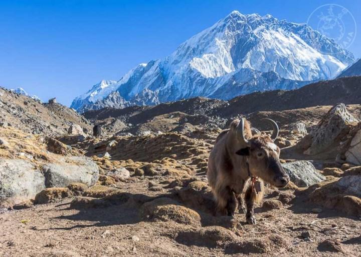 Yak pastando en Lobuche, Campamento Base Everest, Nepal