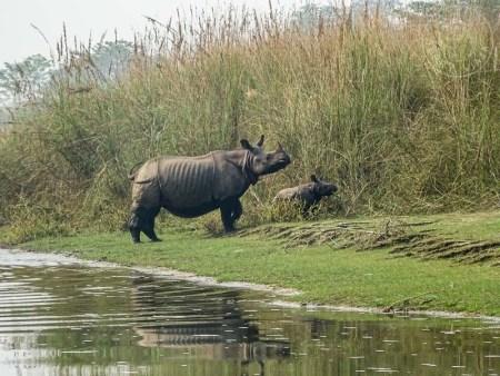 Parque Nacional de Bardia. Rinos en el bardiya national park