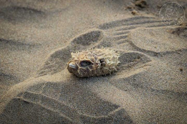 Pez globo muerto en la playa de kanazawa, mar de japon