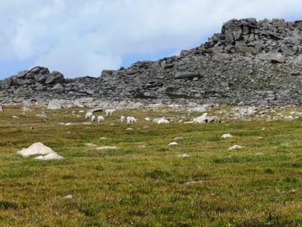 Goats amongst the mountains