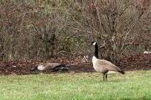 goose8