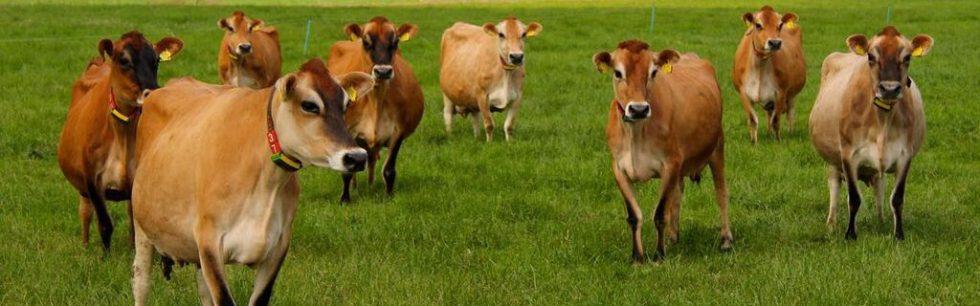 Jersey koeien
