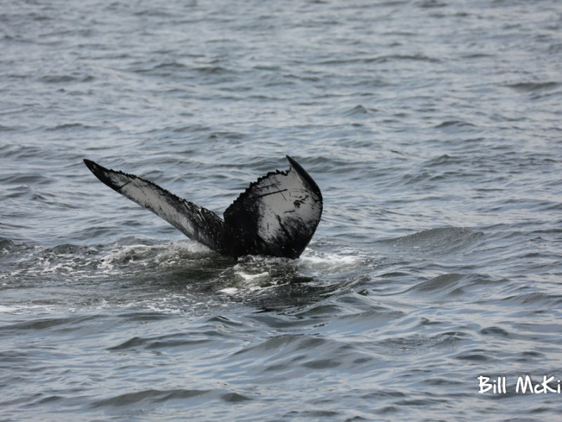 , Whale Watching trip report Aug 18 2019 , Just amazing ! A Triple Breach, Jersey Shore Whale Watch Tour 2020 Season