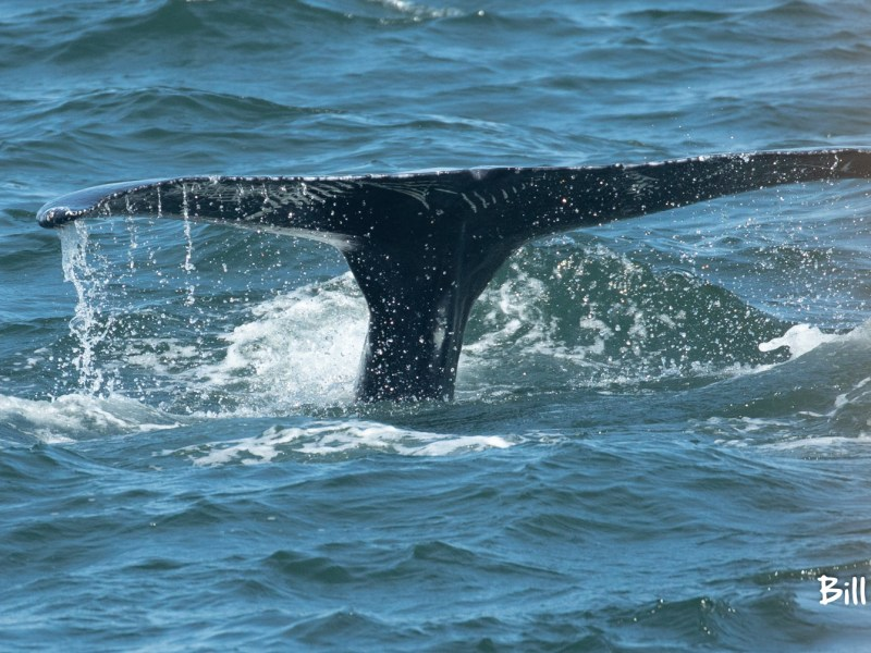 , The whale breached 7 times! today June 20 trip report, Jersey Shore Whale Watch Tour 2020 Season