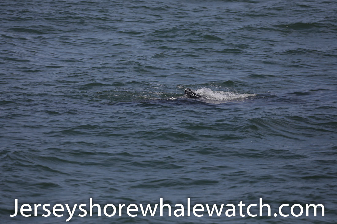 Jersey shore whale watch July 6 review 2020 (21 of 37)