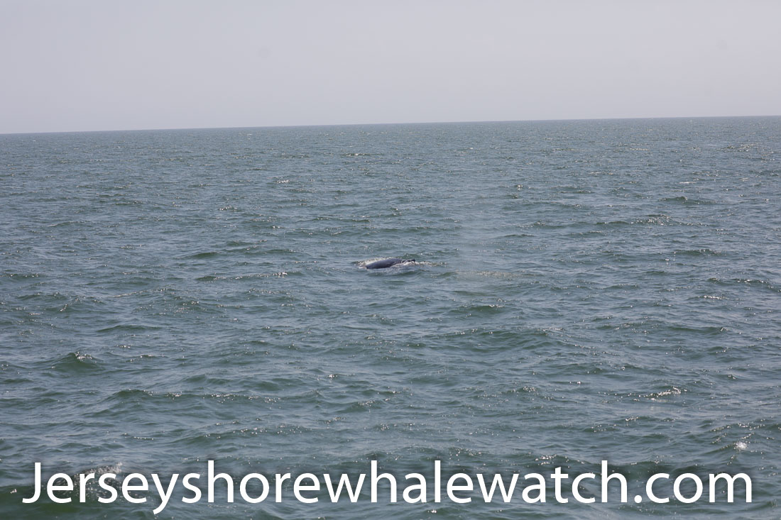 Jersey shore whale watch July 6 review 2020 (28 of 37)