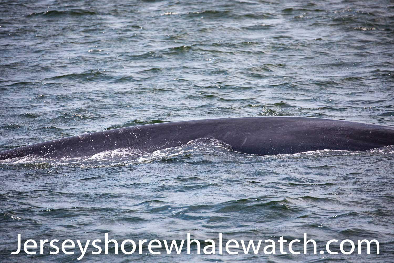 , A Finback Whale on our trip!, Jersey Shore Whale Watch Tour 2020 Season
