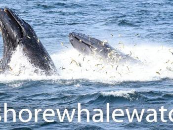 bait fish long branch nj , whales love menhaden fish