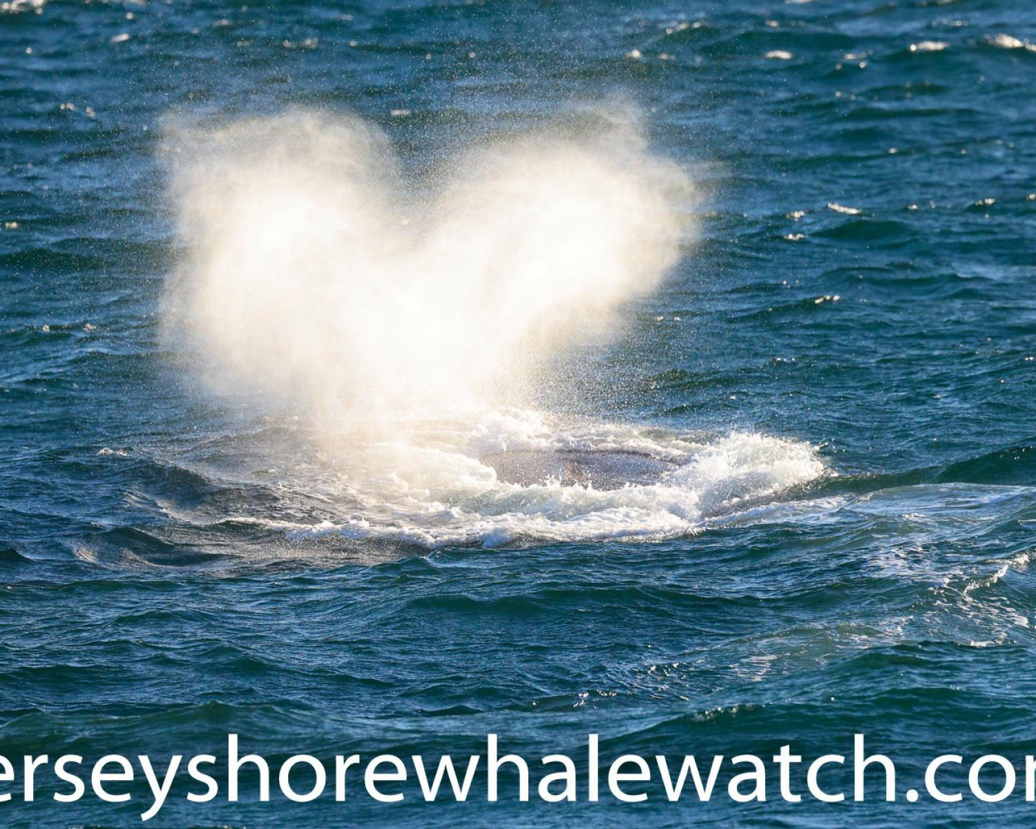 , Rare North American Right Whale photographed Jersey Shore coastline, Jersey Shore Whale Watch Tour 2020 Season