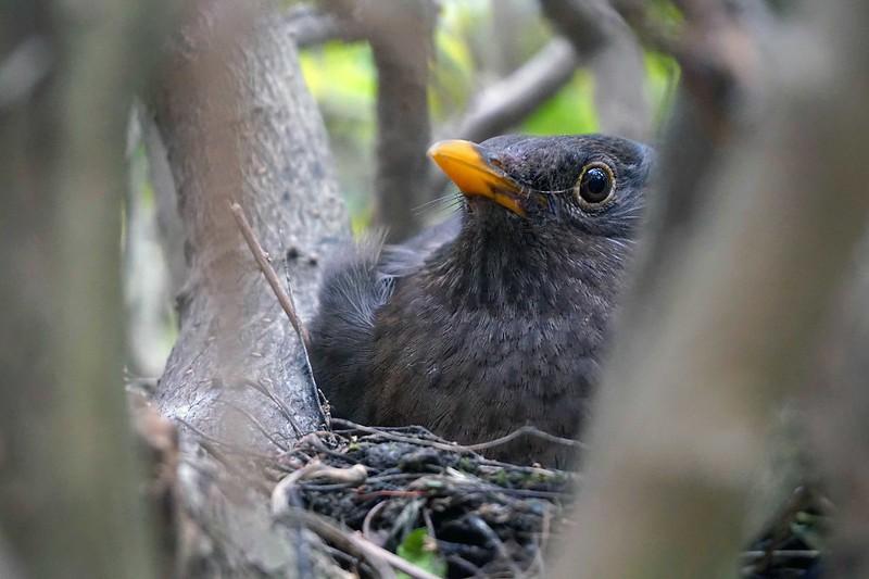 Mrs Blackbird by David Pretswell