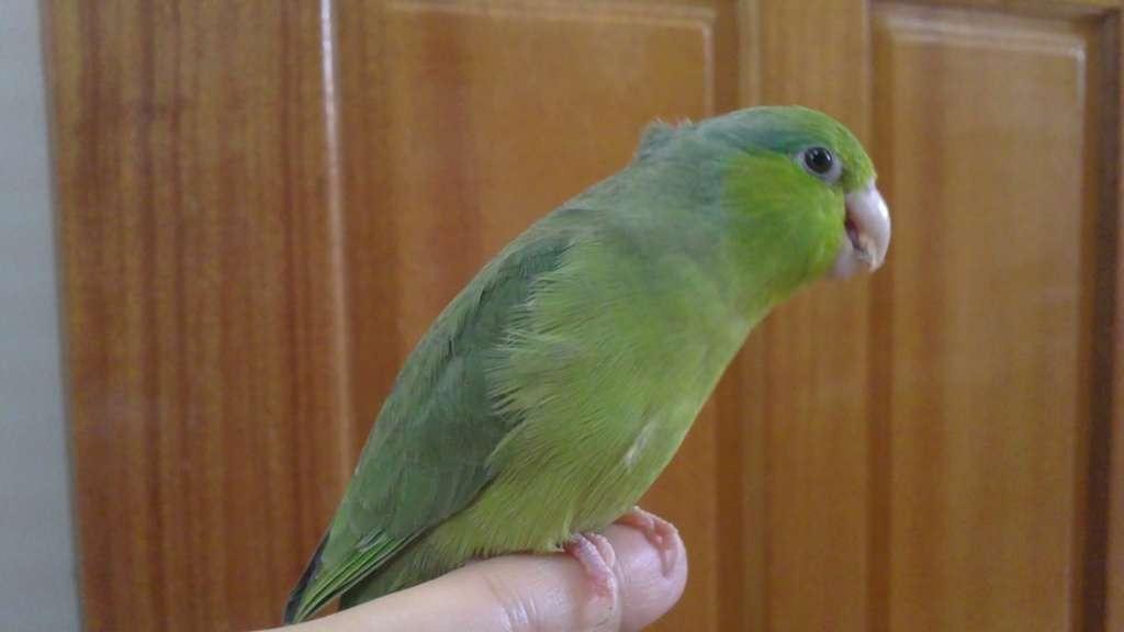 [認購]手養鳥~綠太平洋鸚鵡中鳥+籠子(已結束) | 可愛寵物的0.1毫米