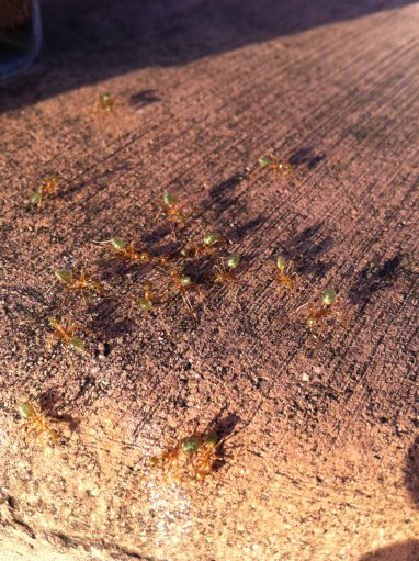 Green tree ants, Bowen, Queensland