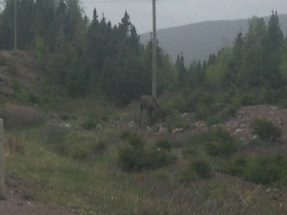 I finally saw a moose! This little ine's mom poked her head out of the woods after to tell him not to talk to strangers.