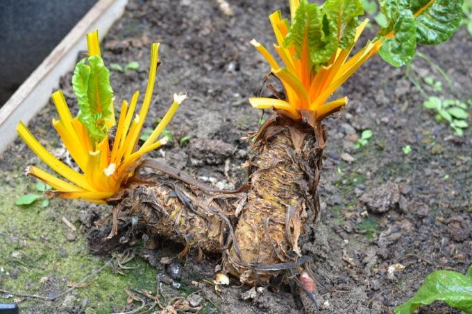 Rainbow Chard Roots