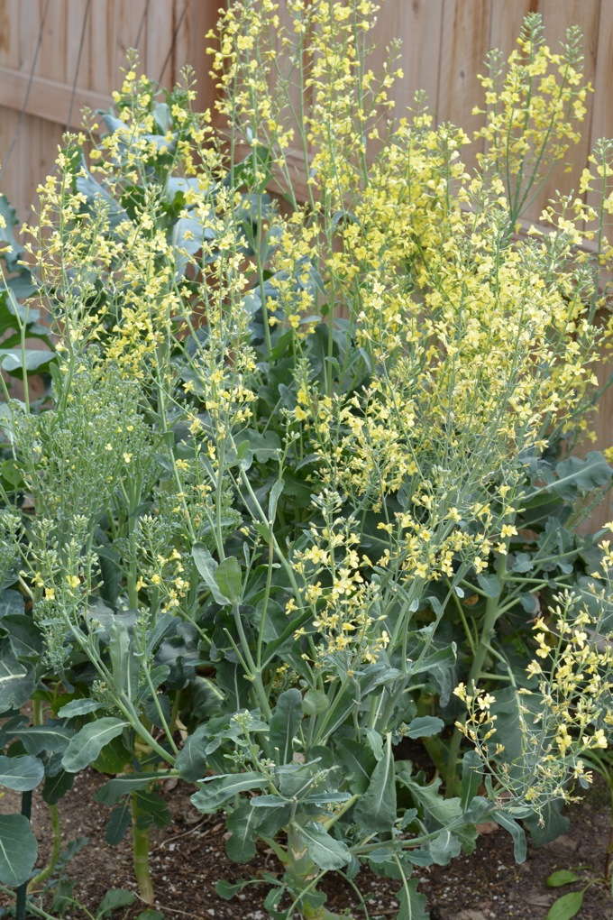 Flowering Broccoli Plants