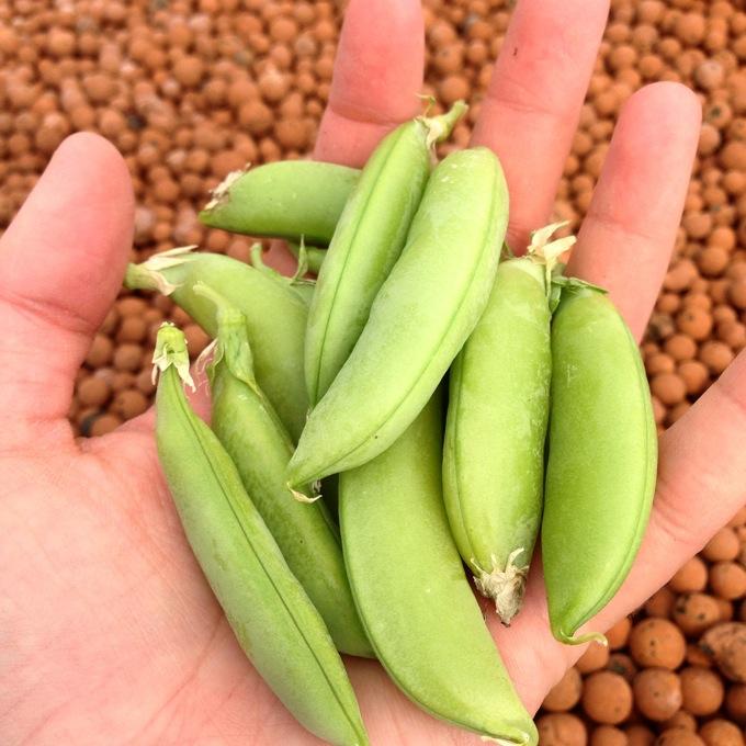 Home grown sugar snap peas