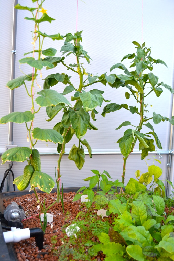 Growing tomatoes in an aquaponic garden