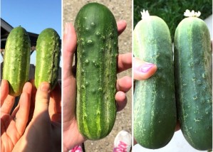 Harvest Fridays – The Great Cucumber Harvest