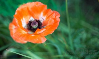 Crazy Orange Poppy Athelhampton House