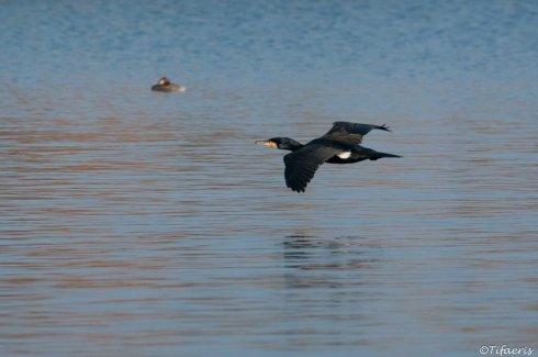 Grand cormoran 2