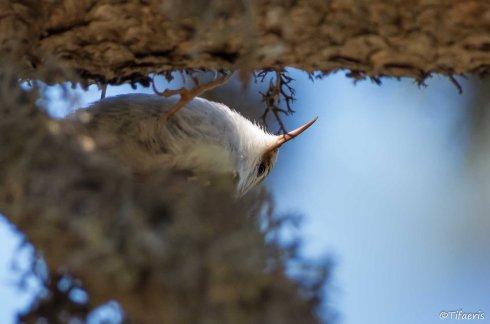 Grimpereau des bois 3