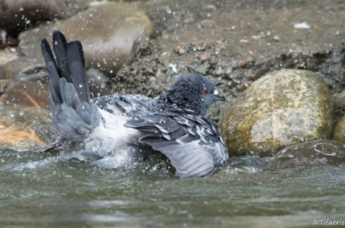 Pigeon biset 2
