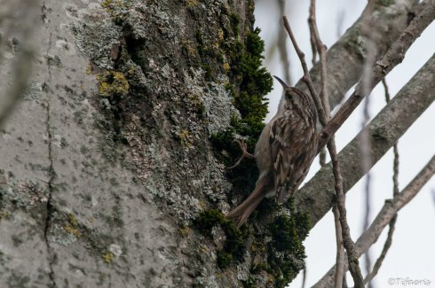 Grimpereau des jardins 3