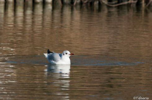Mouette rieuse 15