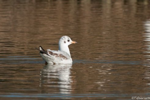 Mouette rieuse 5