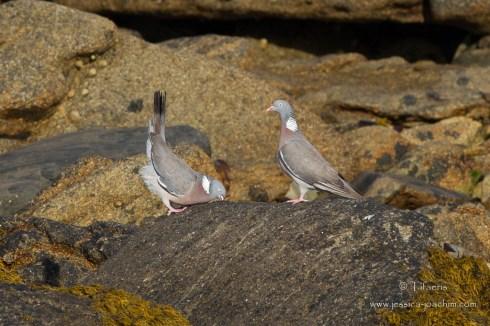 Pigeon ramier-Bretagne, Plouguerneau, 11.08.2014