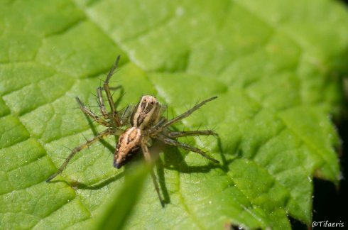 Oxyopes lineatus 3