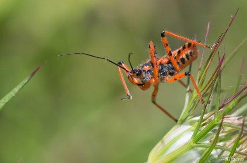 Rhéduve irascible (Rhynocoris iracundus-cuspidatus-rubricus) 2
