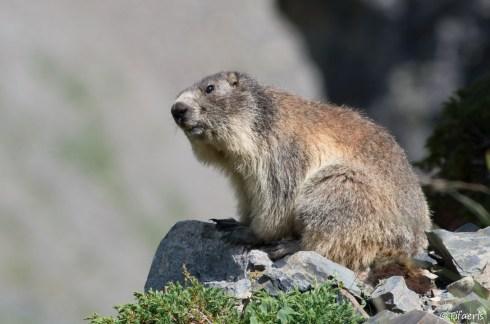 Marmotte des Alpes 13
