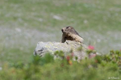 Marmotte des Alpes 16