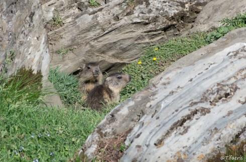 Marmotte des Alpes 6