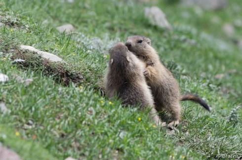 Marmotte des Alpes 7