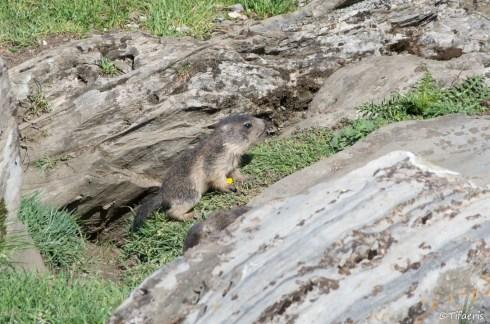 Marmotte des Alpes 9