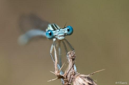 Pennipatte bleuâtre 4