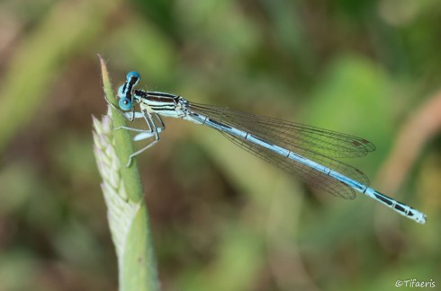 Pennipatte bleuâtre ♂ 3