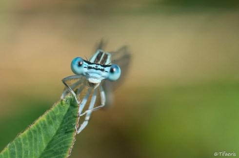 Pennipatte bleuâtre ♂ 5