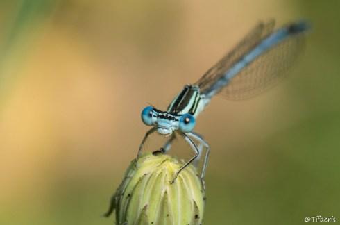 Pennipatte bleuâtre ♂ 9