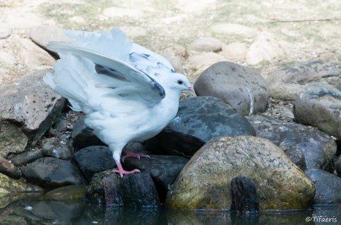 Pigeon paon 3